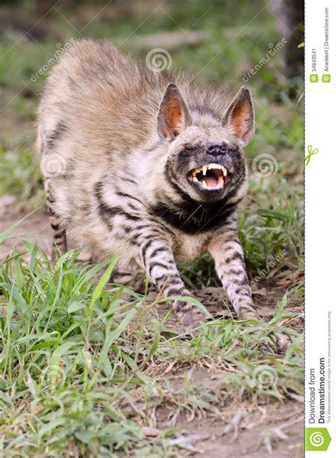 striped hyena stock image image