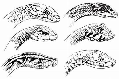 Sketch Snakes Vector Snake Vectors Cobra Sketches