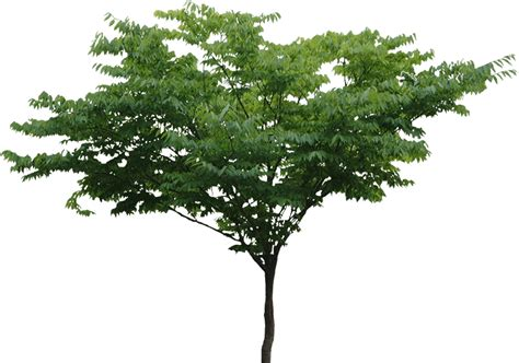Tree Wallpaper Png tree png file free transparent png images