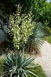 Yucca Palme Braune Blätter : yucca pallida blackland yucca blackland palmlilie ~ Lizthompson.info Haus und Dekorationen