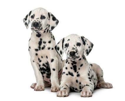30 days dalmatian puppies for dalmatian lovetoknow