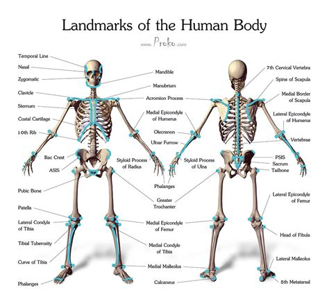 Human bones, muscles and fats 3d model. Draw accurate bones and muscle   Human skeleton anatomy, Skeleton anatomy, Human figure drawing