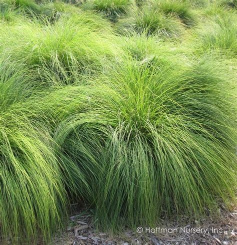 73 Best Images About Gdn  Grasses (native) On Pinterest