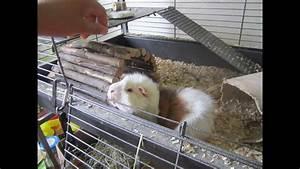 Cage A Cochon D Inde : pr sentation de la cage de mon cochon d 39 inde youtube ~ Dallasstarsshop.com Idées de Décoration