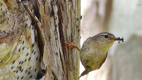 robin birds chirping and singing beautiful bird sounds