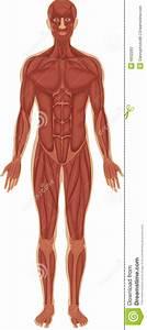 Muscular System Stock Illustration  Illustration Of