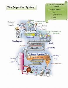 Digestive System Lab 20