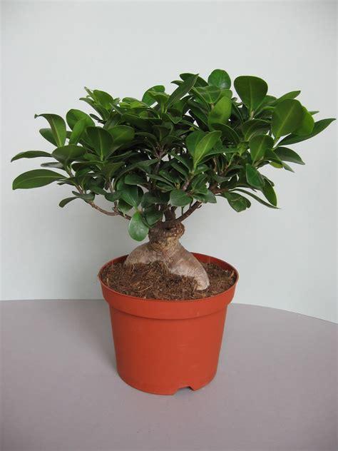 Ficus Ginseng Pflege Tipps by Ginseng Bonsai Pflege Ficus Ginseng Bonsai Einpflanzen