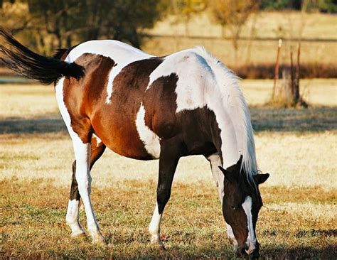 horse insulin resistant horses herbs diabetes equine laminitis herbal laminitic help wendy pearson dr