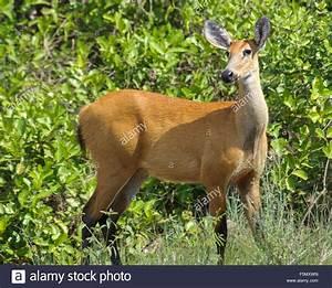 Besonders Auf Englisch : sumpfhirsch blastocerus dichotomus weiblich als eine besonders gef hrdete arten aufgef hrt ~ Buech-reservation.com Haus und Dekorationen