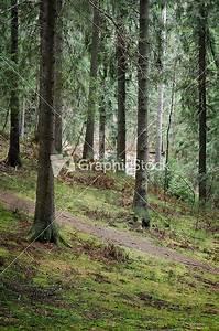 Dark Pine Forest Scene Stock Image