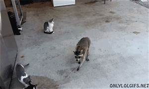 Cat Raccoon GIF - Find & Share on GIPHY