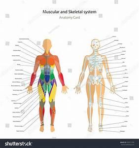 Female Muscles Diagram