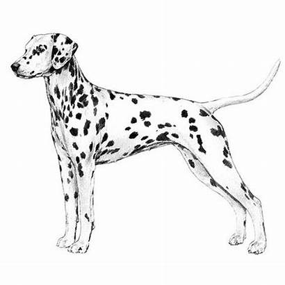 Dalmatian Dog Drawing Akc Draw Dogs Drawings