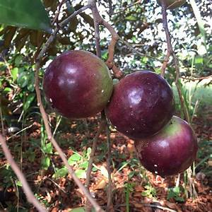 Star Apple (Cainito) Box – Miami Fruit