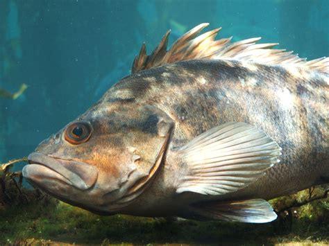 File:Rockfish (Sebastes spp.) 01.jpg - Wikipedia