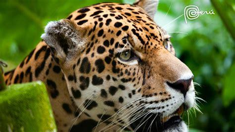 Jaguar The Big Cat Wallpapers  Hd Wallpapers  Id #11785