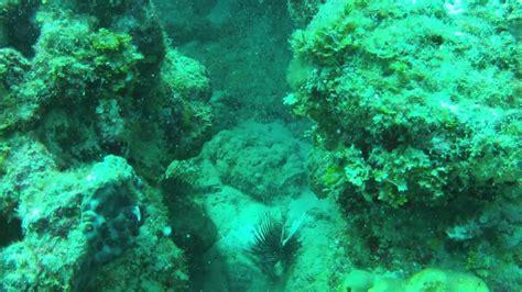grouper fish goliath lion eating