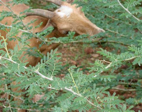 goats browsing   woodlot