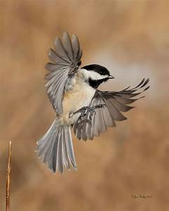 187 best Chickadee Reference images on Pinterest ...