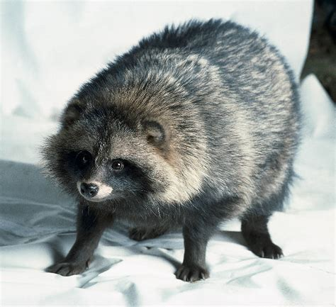 wild life information raccoon dog info  pictures
