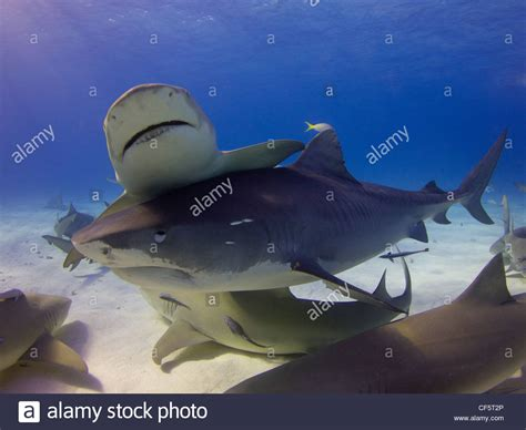 tiger shark putting    pesky lemon sharks