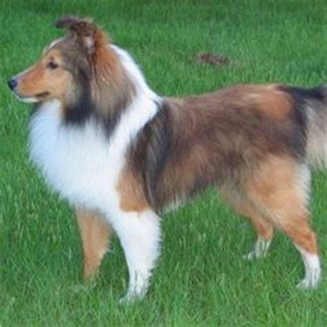 sheltie shedding puppy coat 1000 images about grooming tips on