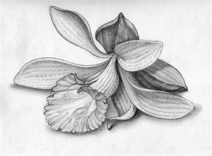 Drawn orchid pencil drawing - Pencil and in color drawn ...