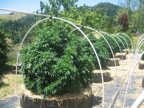 How To Grow Weed Outside In California  Helpful Tips