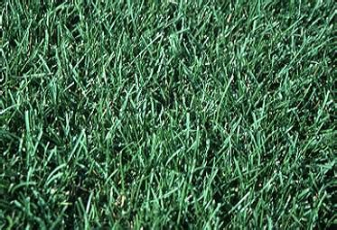 what type of grass is sod which grass seed should i plant uconnladybug s blog