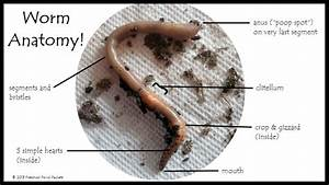 Worm Anatomy Science For Preschoolers