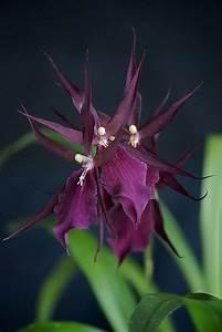 17 Best images about black orchid on Pinterest | Belize ...