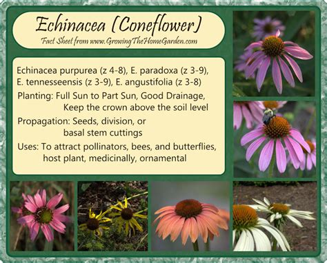 how to grow coneflowers a few facts about echinacea growing the home garden