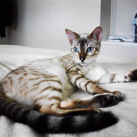 Bengal Cats For Adoption Texas  Bengal Kittens For Sale