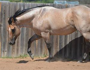 The gallery for --> Bay Dun Roan Horse