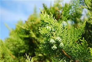 Thuja Smaragd Wachstum : thujahecke pflanzen pflanzabstand und pflege ~ Michelbontemps.com Haus und Dekorationen