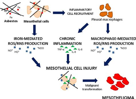 asbestos induced cell injury leading  mesothelioma