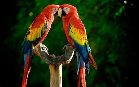 macaw bird birds parrots scarlet macaws wallpaper 1920x1200 249005 wallpaperup