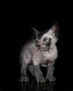 lykoi cat for kittens lykoi cats the original lykoi breeder