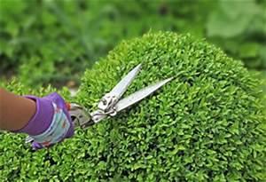 Buchsbaum Kugel Schneiden : buchsbaum schneiden zeitpunkt und formschnitt als kugel ~ Lizthompson.info Haus und Dekorationen