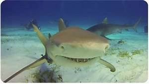 Shark Archives - Videos Nauticpedia