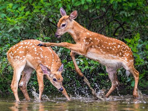 young deer game mountain stream desktop hd wallpapers