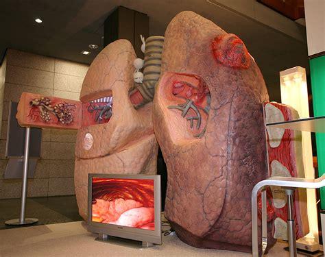 lungenmodell begehbare organe