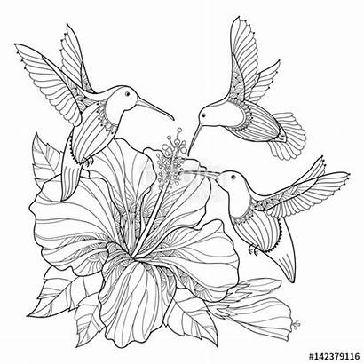 Hummingbird Outline Hibiscus Exotic Bird Vector Flying