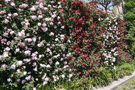 Urban Garden Climbers Climbing Plants For Walls & Fences