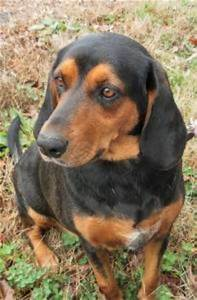 Black And Tan Bluetick Mix Pictures to Pin on Pinterest ...