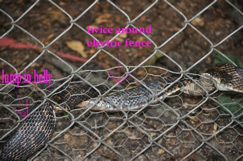 electric snake fence snake versus electric fence pics 3540