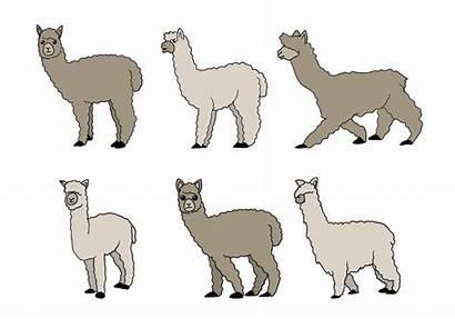 Alpaca Vector Llama Clipart Illustration Clip Drawn