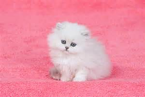 teacup cats will teacup cats become a disastrous spawned pet