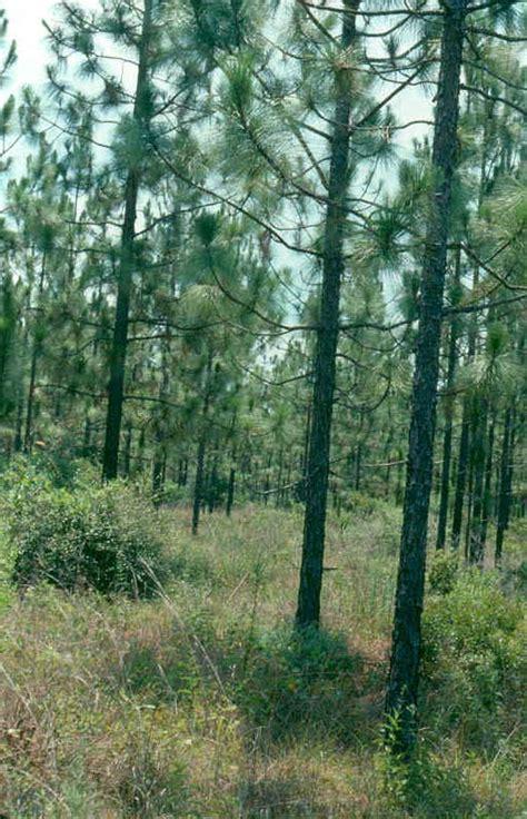 Longleaf Pine Flooring Louisiana by Longleaf Pine Range Types Of America